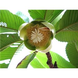 Fruit Autoflowering 10 PCS Feminized Seeds Dinafem