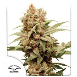 Ice Cool - Feminized Seeds 3 pcs Sweet Seeds