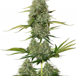 Northern Lights MoC - Feminized Seeds 5 pcs Ministry of Cannabis