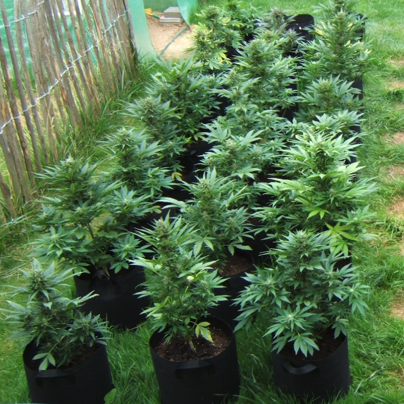 White Widow - feminized seeds 5 pcs Ministry of Cannabis