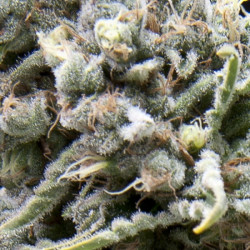 Acapulco Gold - feminized seeds 5pcs Barney's Farms