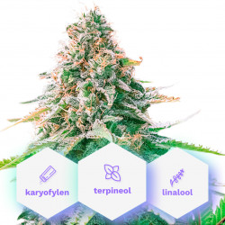 Calm - 10pcs autoflowering seeds Cannapio Cannapio Seeds
