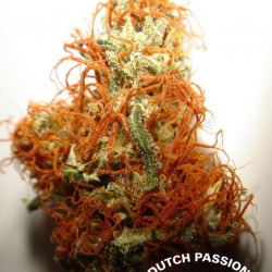 Orange Bud - feminizovaná semínka 10ks Dutch Passion