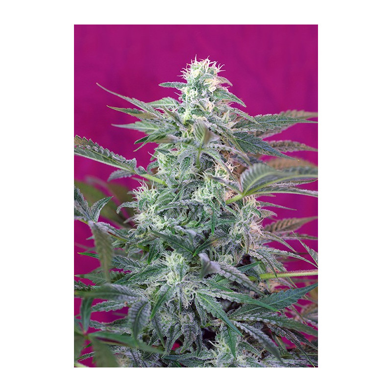Big Foot – feminizované semienka 3 ks Sweet Seeds