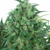 Think Different - autoflowering seeds 7 pcs Dutch Passion
