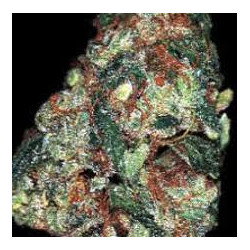 Red Diesel – feminizovaná semena 5 ks Barney Farms