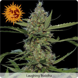 Laughing Buddha – feminizované semienka 10 ks Barney Farms