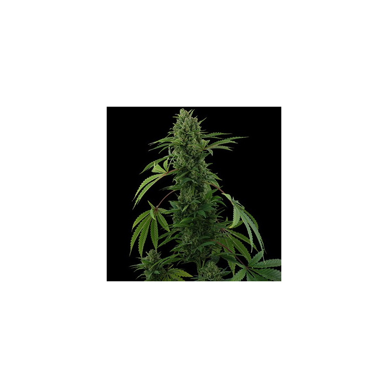 Pineapple Express – 3ks autoflower semínka Barney Farms