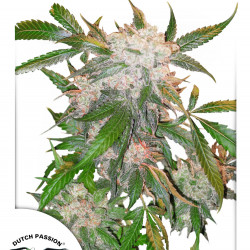 White Widow 10ks (feminizované semená) Dutch Passion