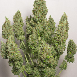 Blue AutoMazar®- autoflowering semienka 3ks Dutch Passion