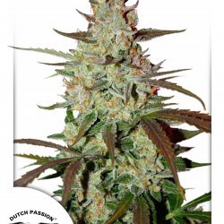 Amnesia Haze - 10 seeds of feminized Royal Queen Seeds