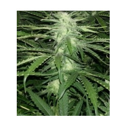 Royal Moby - Feminized Seeds 5 Pcs Royal Queen Seeds