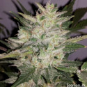 Special Kush n. 1 feminized seeds 3 pcs Royal Queen Seeds