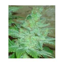 Special Kush n. 1 - feminized seeds 5 pcs Royal Queen Seeds