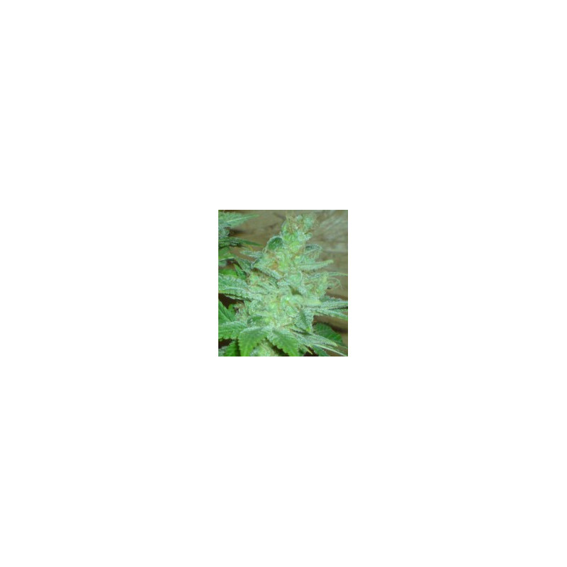 Special Queen n. 1 - 10 feminized seeds of Royal Queen Seeds