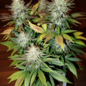 Special Queen n. 1 - 5 feminized seeds Royal Queen Seeds