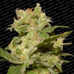 Feminized Mix Feminized Seeds 10 pcs Sensi Seeds
