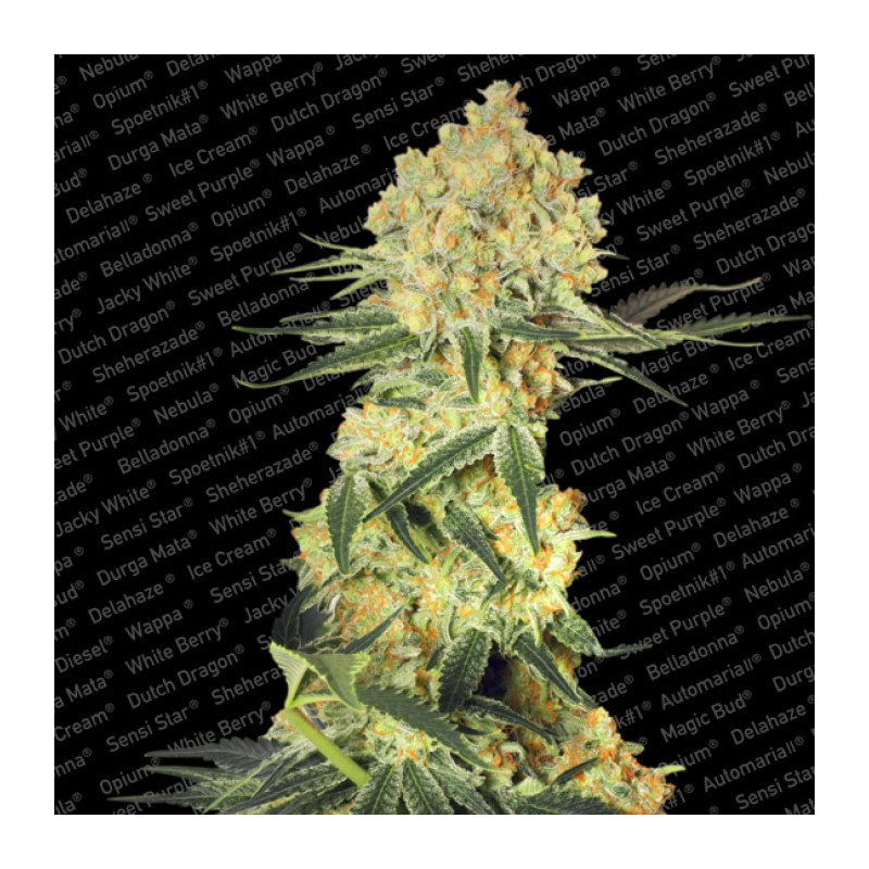 Acid Seeds 3 Pcs Feminized Seeds of Paradise Seeds