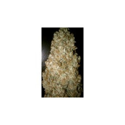 Acid Seeds 5 Pcs Feminized Seeds of Paradise Seeds