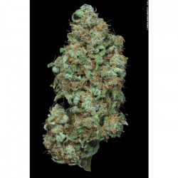 Atomical Haze 10semen Feminized Seeds of Paradise Seeds