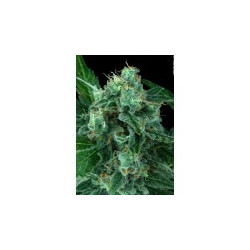 Atomical Haze - Seeds 5 Feminized Seeds of Paradise Seeds