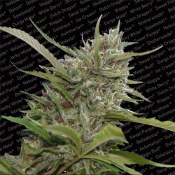 Allkush - Seeds of 5 Feminized Seeds of Paradise Seeds