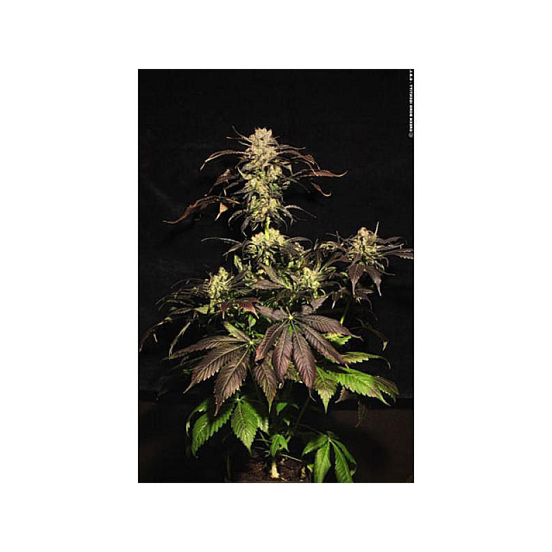 Ice Cream Seeds 3 Pcs Feminized Seeds of Paradise Seeds