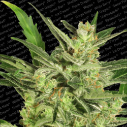 Lucid Bolt - Seeds of 5 Feminized Seeds of Paradise Seeds