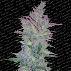 Wappa - Seeds of 5 Feminized Seeds of Paradise Seeds