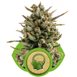 Critical Jack autoflower 10 pcs feminized seeds Dinafem