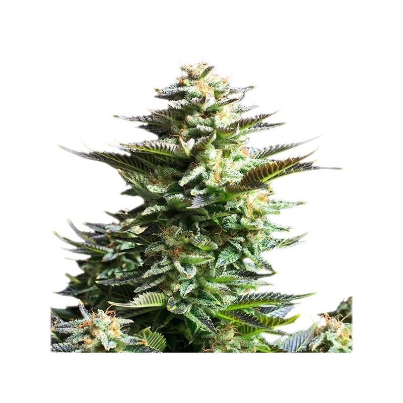 Critical Jack 3 pcs feminized seeds Dinafem