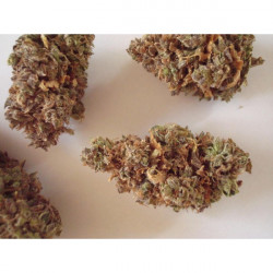 Critical Jack 5 pcs feminized Dinafem seeds