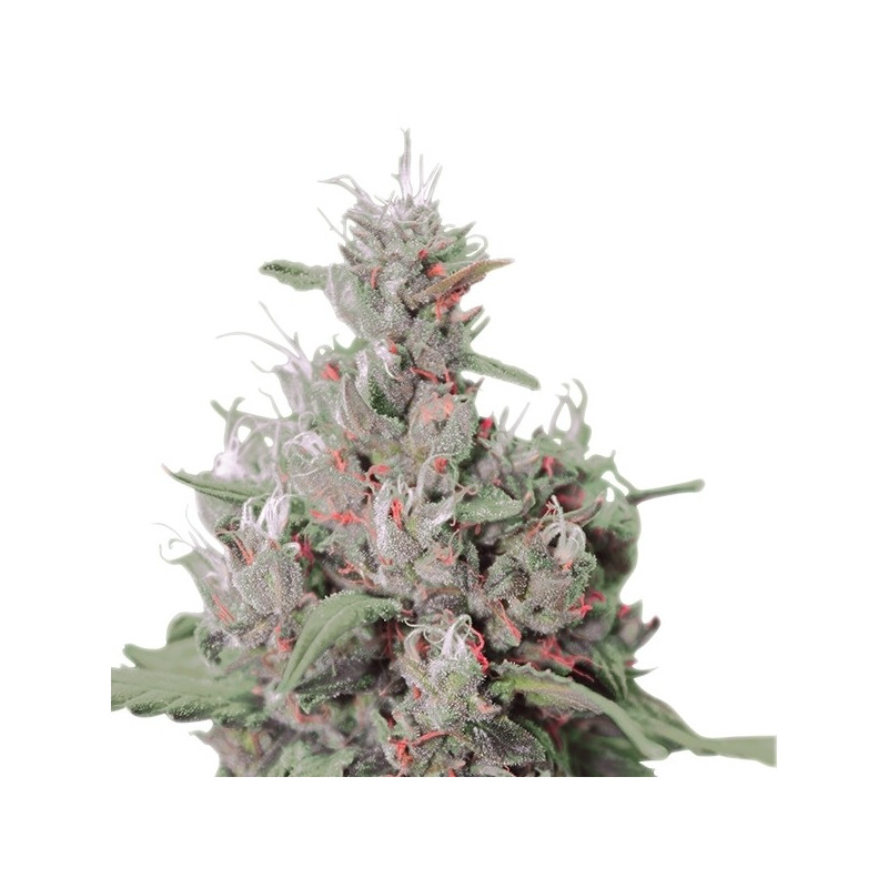 Blue Widow 10 pieces feminized seeds Dinafem