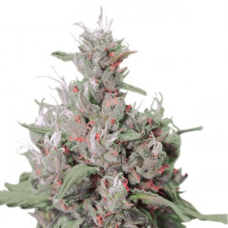 Critical + autoflower 5 pcs feminized seeds Dinafem