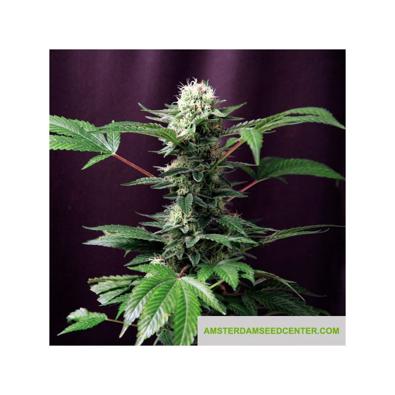 Industrial Plant 5 pcs feminized seeds Dinafem