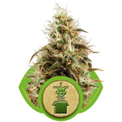 California HashPlant 5 pcs feminized seeds Dinafem
