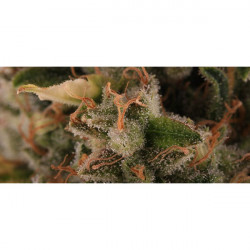 White Siberian 10 pcs feminized seeds by Dinafem