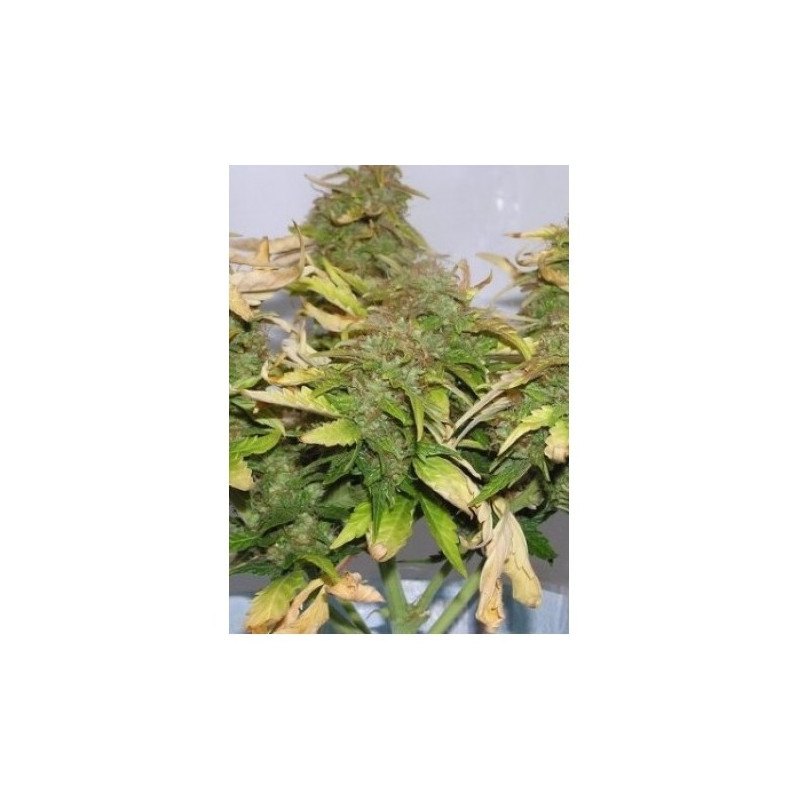 White Siberian 3 pcs feminized seeds Dinafem