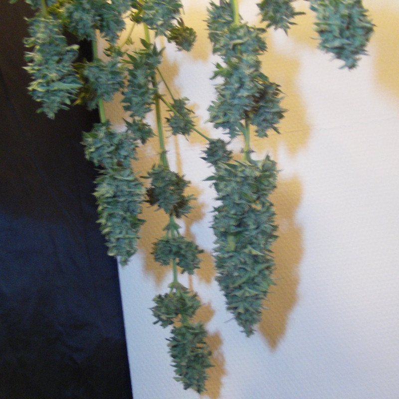 Northern Light 10 pcs fem. and Growshop Seeds