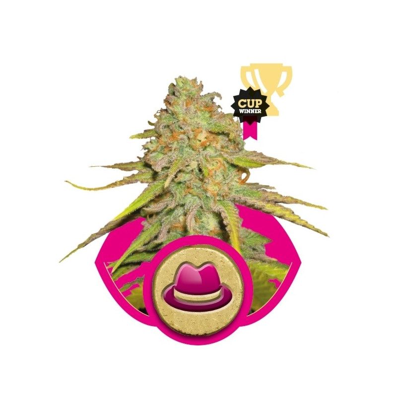 Cheese 10 feminized seeds Growshop seeds