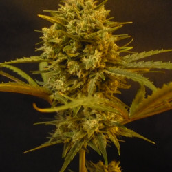 Vanilla Kush - Feminized Seeds of 5 Barney Farms
