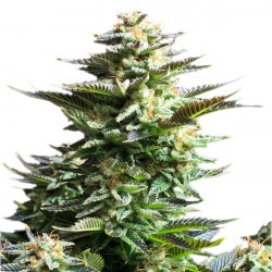 Amnesia Haze - 5 semen feminizované Royal Queen Seeds