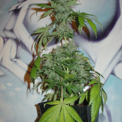Acapulco Gold - 10 seeds feminized Barney's Farms