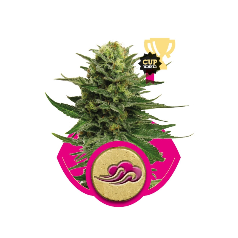 Blue Mistic feminizovaná semínka 3 ks Royal Queen Seeds