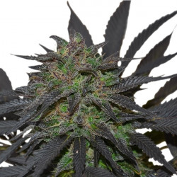 Blue Mistic - feminizovaná semínka 5 ks Royal Queen Seeds