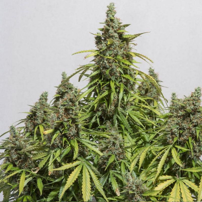 Magnum fem. and autoflowering seeds of Buddha Seeds