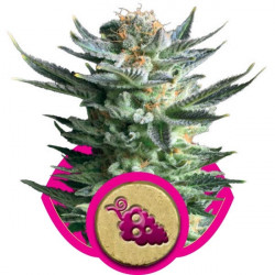 Fruit Spirit - feminizovaná semínka 5 ks Royal Queen Seeds