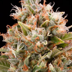 Critical Cheese - 3in Dinafem Feminized Seeds