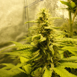 Red Poison Auto - fem. and Seeds of 5pcs Sweet Seeds