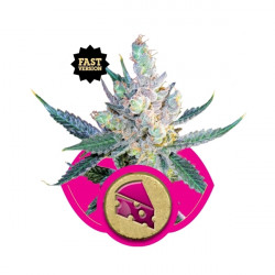 Royal Cheese - feminizovaná semínka 5 ks Royal Queen Seeds